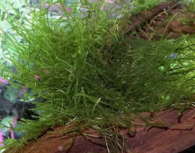Taxiphyllum barbieri - Java moss